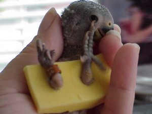 how to tell the age of baby pigeons